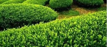 茶树的种植技术