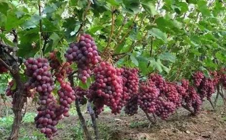 葡萄种植你不得不重视的六大误区