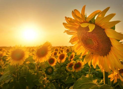 种植向日葵该如何让施肥