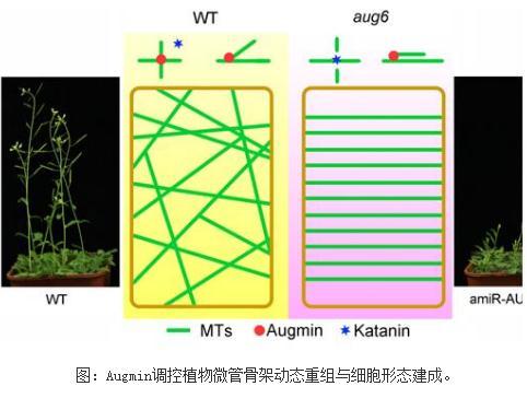 在微管交叉点处Augmin通过拮抗Katanin介导的切割来控制植物周质微管动态组织