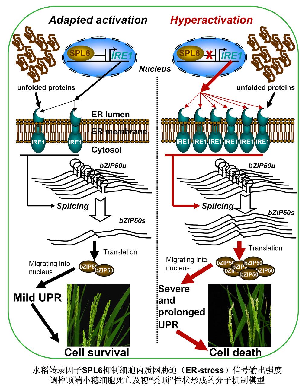 SPL6-IRE1决定水稻穗发育过程中的细胞存活命运