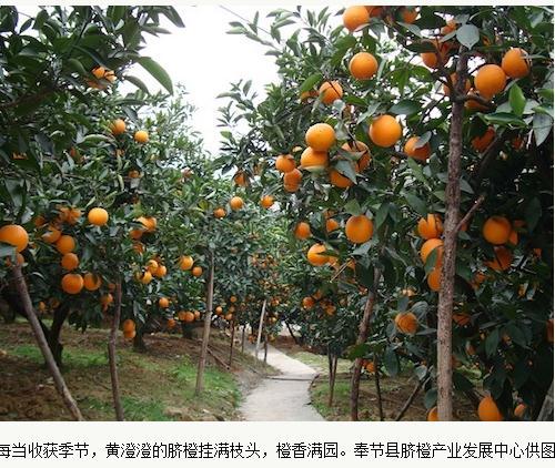 奉节脐橙品种与品牌建设