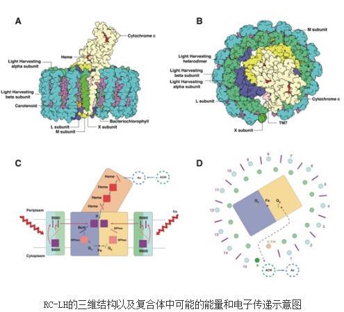 光合玫瑰菌进行高效光能吸收、传递和转换的超分子基础