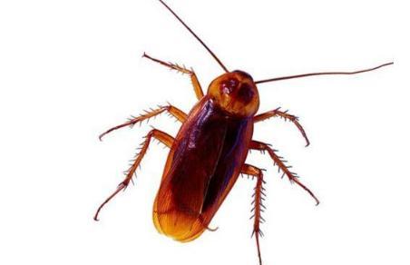 蟑螂对众多杀虫剂产生交叉耐药性,如何消灭蟑螂成难题