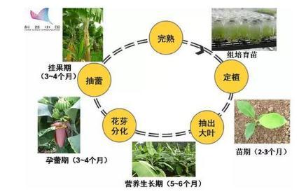 香蕉育种历程与技术研究进展,孢镰刀菌会使香蕉绝种吗?