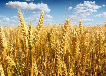 第一届国际小麦大会在加拿大举行,与会专家共同交流小麦研究进展