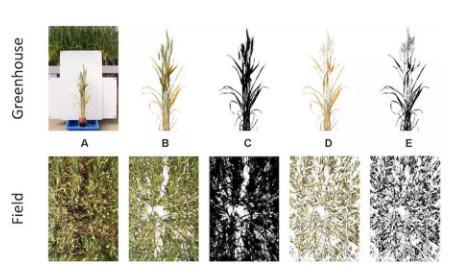 全球加速栽培小麦的遗传改良和分子设计育种