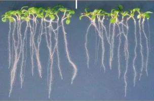 深圳大学等首次发现植物盐受体GIPC 成果登上Nature!