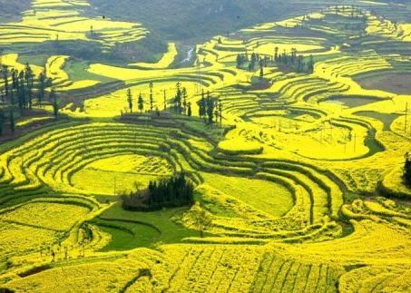 中美专家合作揭示甘蓝型油菜的起源与演化