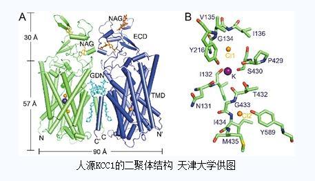转运蛋白突变引发癫痫,天津大学首次解析出人源钾-氯共转运蛋白KCC1高分辨结构