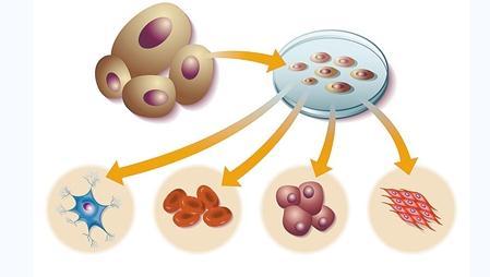 iPS细胞培养人体器官的原理、研究难度与挑战