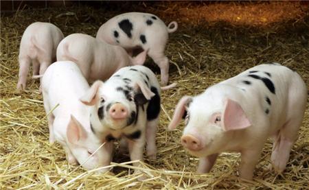 养猪第一股雏牧要退市?巨亏53亿,曾缺钱而把猪饿死