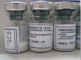 鳗弧菌减毒活疫苗MVAV6203