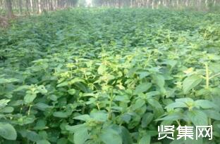 薄荷种子种植方法和注意事项,薄荷种子哪里有卖?
