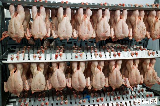 现在全世界存活着超过210亿只肉鸡