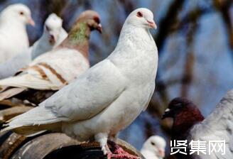 养鸽子技术大全,新手养鸽子养几只适宜