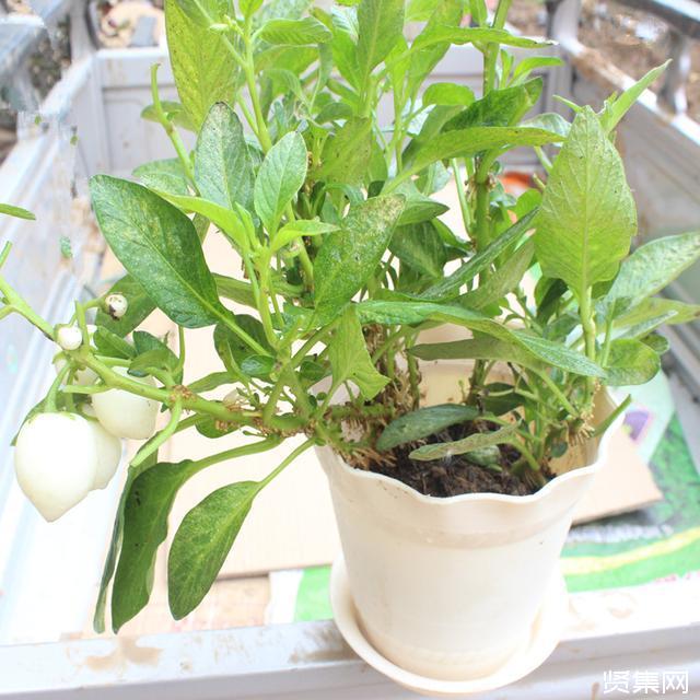白蛋茄的营养功效与种植方法