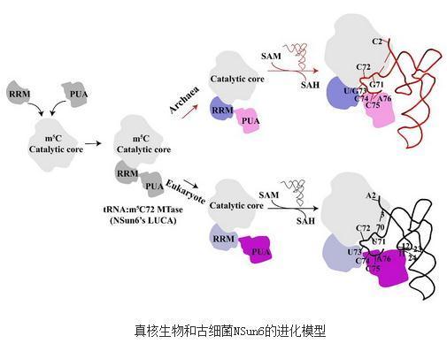 真核生物和古细菌NSun6的进化模型与识别tRNA底物的分子机理