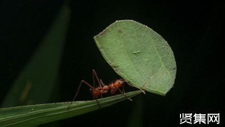 切叶蚁是如何制造温室气体