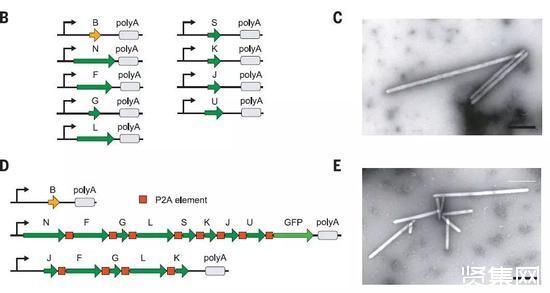 加州理工学院开发超声成像系统能让人亲眼看到基因的表达