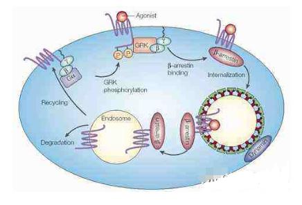 西湖大学成功解析出新冠病毒受体ACE2的全长结构