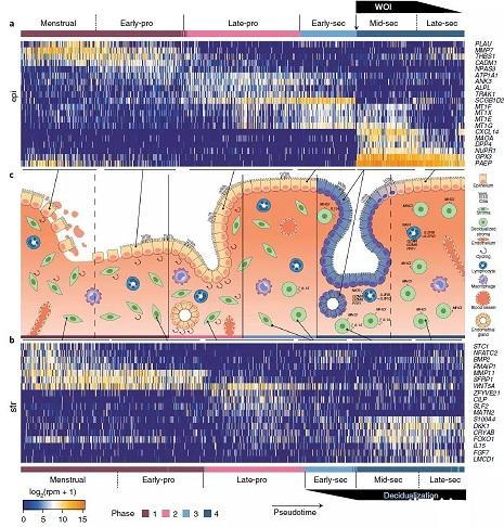 单细胞测序技术助力首次描绘月经中子宫内膜单细胞转录组图谱
