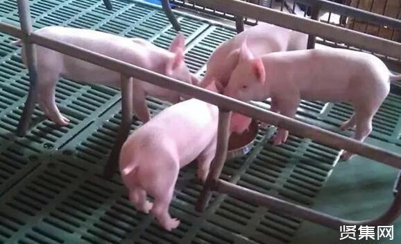 新手养猪该怎么起步,新手养猪的注意事项