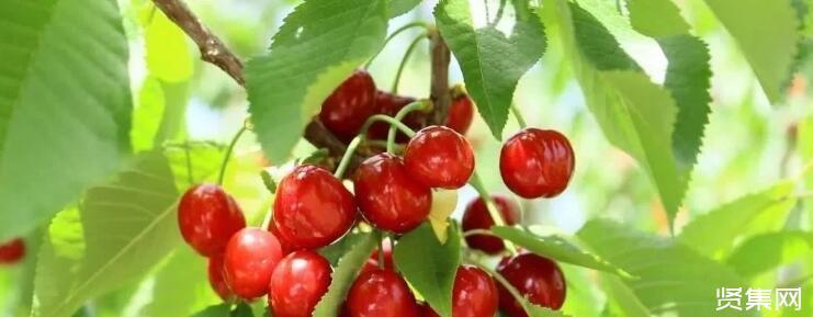 关于针叶樱桃种植方面的各种问题汇总