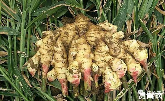 今年种生姜的人赚了,姜农种了20亩姜,预计纯收入40万元