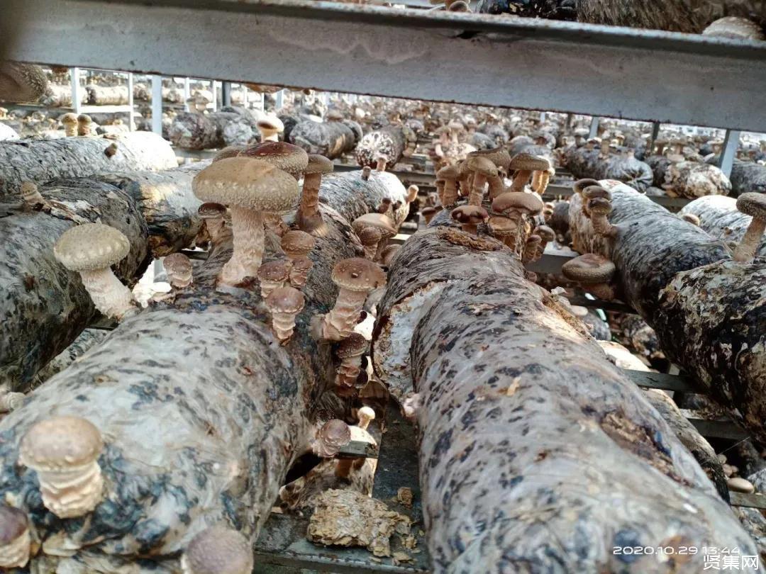高尔夫球场淡季能做什么?日本利用原木栽种高级香菇