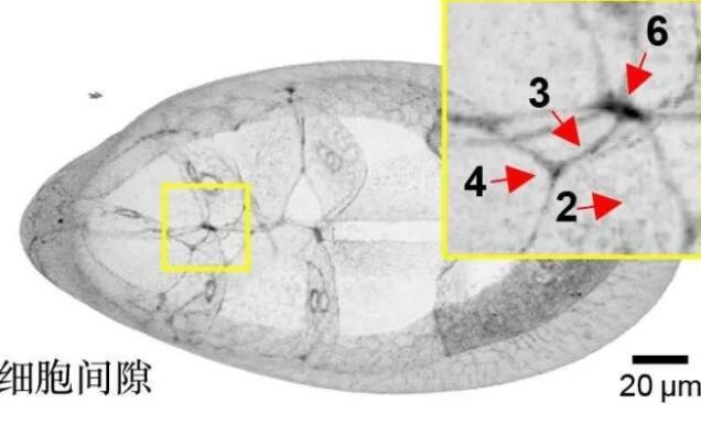 """体内微环境的新认识:组织""""地形""""指引体内细胞迁移路径"""