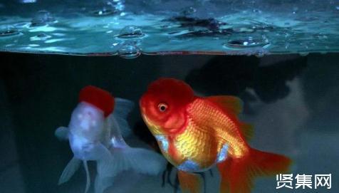 无需打氧的观赏鱼有哪些,观赏鱼如何混养