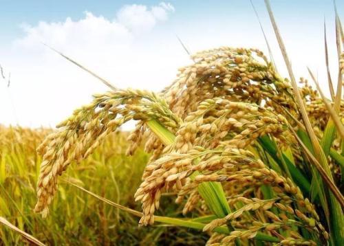 """中国成功克隆水稻白叶枯病""""克星""""基因:持久抗病基因Xa7"""