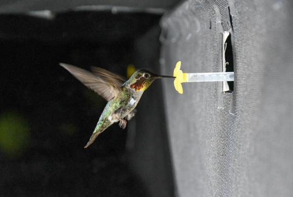 新的测量技术揭秘蜂鸟翅膀独特声音 可以帮助无人机等设备变得更安静