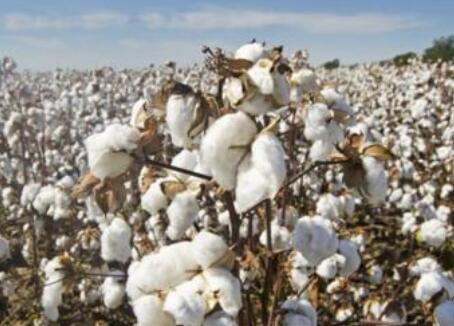 中棉协:支持国外行业协会等赴新疆,将扩大中国棉花认证产品市场份额