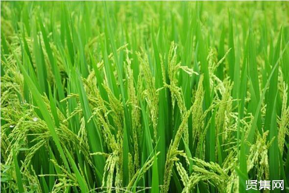 中国商品粮主产区吉林正式进入春播期,率先开展中国东北平原国家粮食安全产业带建设