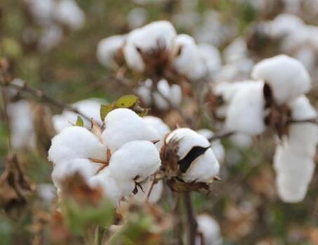 国家发改委发布公告:今年发放棉花进口滑准税配额数量为70万吨