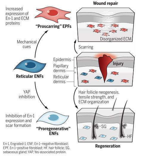 科学家找到瘢痕产生的关键 伤口愈合可以不留疤了