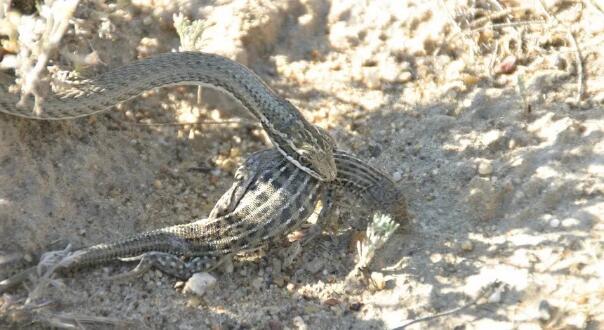 速度超快的蛇类新品种:吐鲁番花条蛇的活体标本被发现