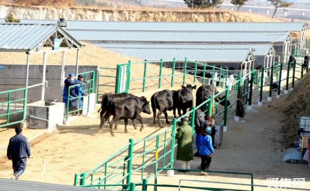"""""""柘城模式""""为中原农区肉牛养殖业发展提供新方案"""