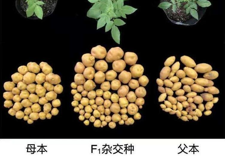 優薯計劃取得里程碑式突破!黃三文團隊公布全基因組設計的雜交馬鈴薯