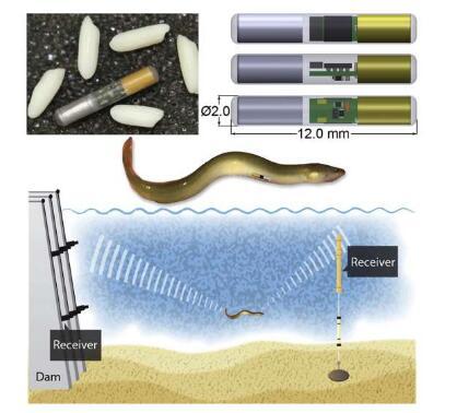 科學家開發新型的生物標簽 可長時間跟蹤監測小型魚類的遷徙