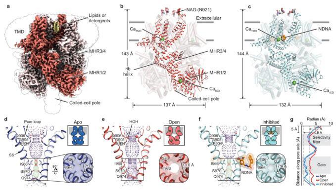 呂偉等首次揭示TRPM5離子通道的高分辨率原子結構,并定義了分子機理