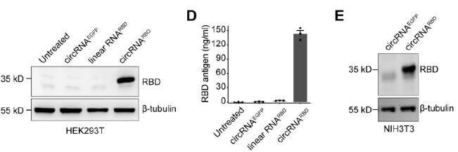 北大开发可应对新冠突变株的环状RNA疫苗,具有很强的热稳定性