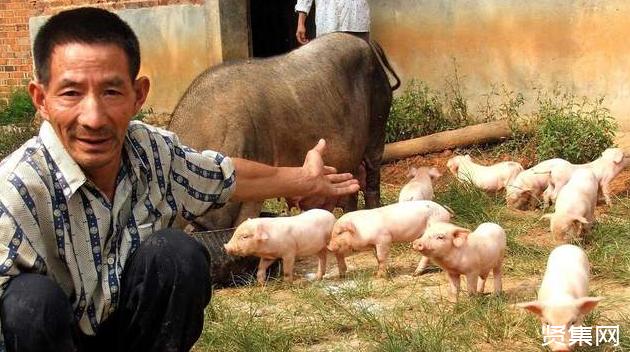 猪价回升最佳时机还没到,养猪户千万别大意,这3点要注意