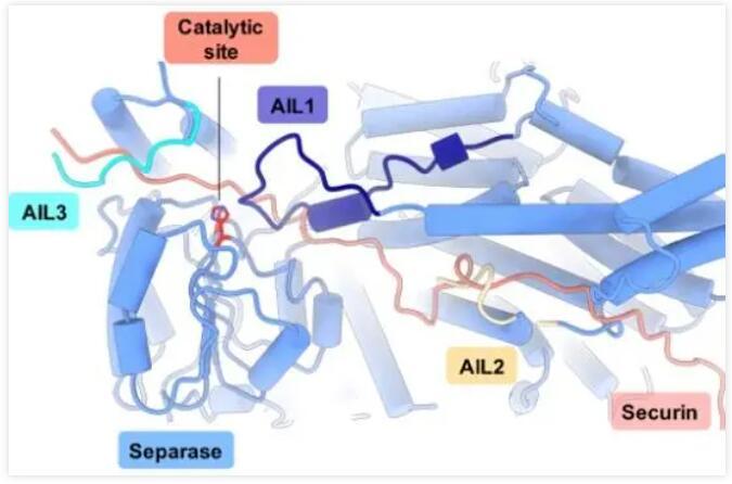 余俊等首次发现了cyclin B1上保守的磷酸基团结合位点