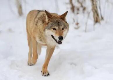 真正发财的只有一种人:有狼的智慧的人