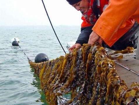 二號站登錄測速海帶+魚內臟=燃料?PNNL利用這兩種海洋資源轉變成便宜的低級燃料