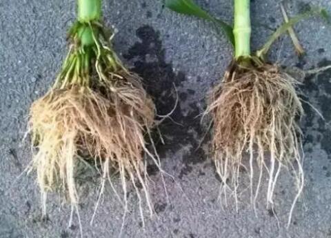 """中子成像技术打开植物根系生长的""""黑匣子"""",让玉米生长过程直播给你看"""
