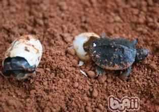 稚龟的养护